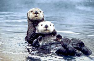 Sea_otter_pair2